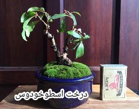 تبلیغات درخت اسطوخودوس