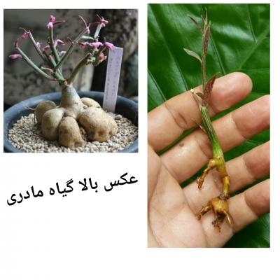گیاه منادینیوم ربلوم