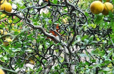 بذر نارنج اژدهای پرنده Trifoliate orange
