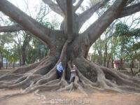 بذر درخت کاپوک Ceiba pentandra