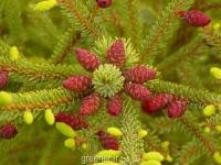 بذر درخت کاج نوئل سیاه  Ceiba pentandra