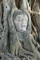بذر درخت انجیر معابد ficus religiosa