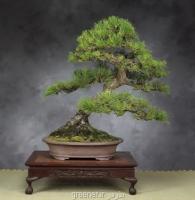بذر بونسای کاج سیاه ژاپنی Pinus thunbergii