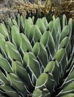 بذر آگاوا فردیناندی agave ferdinandi