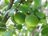 بذر سیب کای Dovyalis Caffra