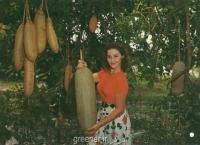 بذر درخت سوسیس kegilia africana