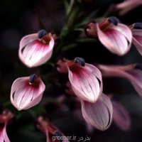 بذر گل توپا رزادا LOBELIA BRIDGESII
