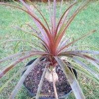 بذر نخل لیندا قرمز red ponytail