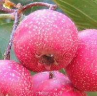 بذر زالزالک چینی crataegus pinnatifida