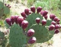 بذر کاکتوس سیبی Opuntia engelmannii