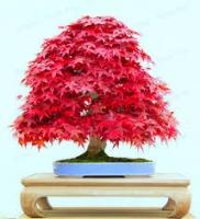 بذر افرا برگ قرمز ژاپنی japanese red maple
