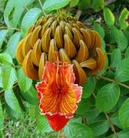 بذر درخت لاله آفریقایی spathodea campanulata