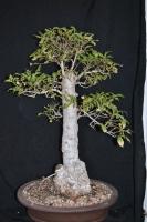بذر درخت اسطوخودوس Heteropyxis natalensis