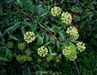 بذر درخت جعفری heteromorpha arborescens