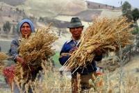 بذر کینوآ Quinoa