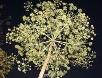 بذر درخت هویج steganotaenia araliacea