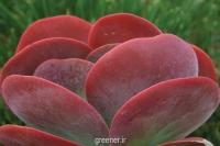 بذر ساکولنت پدال kalanchoe thyrsiflora