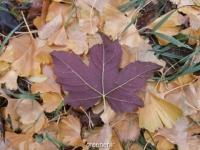 بذر افرای پشت برگ بنفش Purple Leaved Sycamore