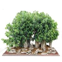 بذر درختچه جینسینگ ginseng ficus
