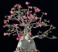 بسته 1000عددی بذر آدنیوم اوبسیوم Adenium obesum