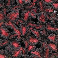 بذر گل حسن یوسف اژدهای سیاه  black dargon