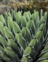 بسته 50 عددی بذر آگاوا فردیناندی agave ferdinandi