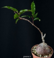 بذر  پیچ پتوپنتیا ناتالنسیس Petopentia natalensis