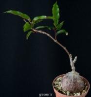 بسته 100 عددی بذر پیچ پتوپنتیا ناتالنسیس Petopentia natalensis