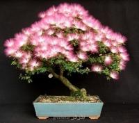 بذربونسای ابریشم مصری albizia bonsai