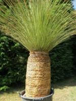 بسته 200 عددی بذر ساکولنت علف مکزیکی Dasylirion longisissimum