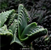 بسته 200 عددی بذر ساکولنت پوزه ببری Faucaria tigrina