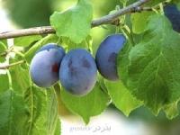 بذر آلوی آبی دامسون damson plum