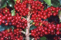 نهال درخت قهوه ARABICA COFFEE Plant