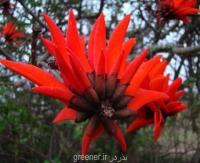 نهال درخت لوبیای شانس Erythrina lysistemon