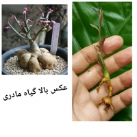 Monadenium