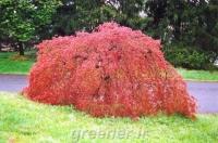 بذر درخت افرا مجنون قرمز ژاپنی