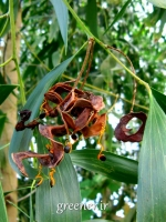 بسته 50 عددی بذر درخت آکاسیا برگ گوشی Acacia auriculiformis