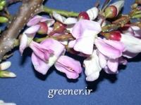 بسته 100 عددی بذر درخت مرگ موش   Gliricida maculata
