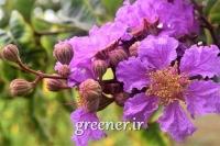 بذر درختچه توری ملکه Lagerstroemia speciosa