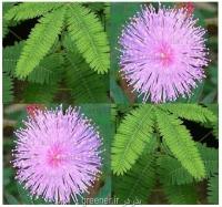بذر گل قهر و آشتی  Mimosa pudica