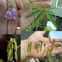 بذر گل رقصنده Desmodium Gyrans