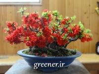 بذر درختچه به ژاپنی flowering quince