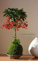 بذر درختچه آردیسیا مرجانی ardisia crenata