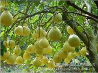 بذر درختچه پوملو pomelo