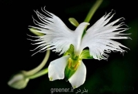 بذر ارکیده حواصیل سفید ژاپنی japanese radiata