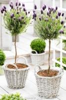 بذر اسطوقدوس lavender