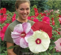 بذر ختمی درختی بزرگ giant hibiscus