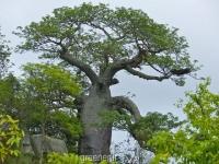 بذر درخت با او باب آفریقا Adansonia Digitata