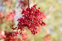 بذر درخت پسته چینی pistacia chinensis