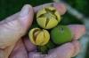 بذر سیب ستاره ای سمی  diospyros dichrophylla